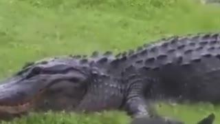 CROCODILE ATTACKS TIGER THAT ATTACKS