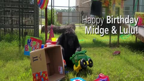 Chimps once confined to life in a lab celebrate their birthdays at their new home