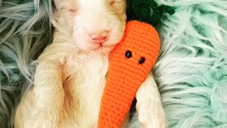 Puppy preciously cuddles his toy carrot