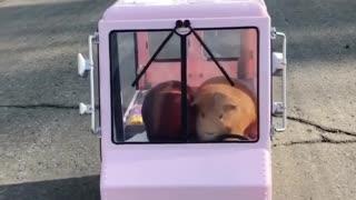 Guinea pig ice cream delivery