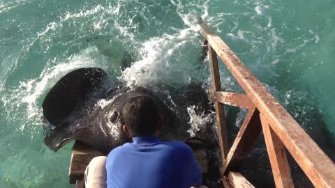 Stingray Jumps Onto Ramp At Maldives Resort To Get A Treat