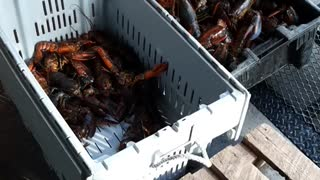 Lobster catch