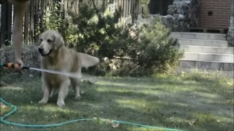 Golden Retriever performs jumping act over water hose