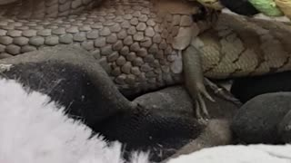 Snake Snacks on a Lizard