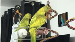 Parrot practices social distancing by hugging mirror reflection