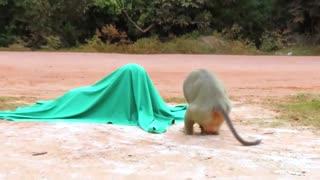 fake tiger pranks monkey so funny