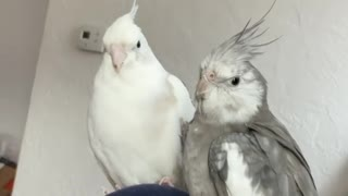 funny birds play together
