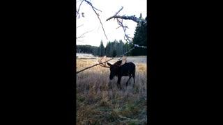 Giant Idaho Bull Moose