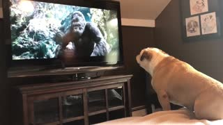 Bulldog Has Incredible Reaction To Watching Movie