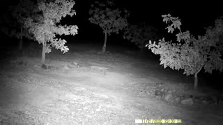 Big Bobcat strolling by