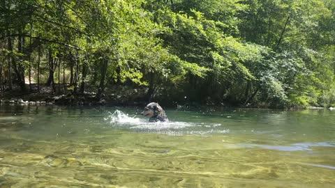 Australian Cattle Dog splashes in the water just like a little kid