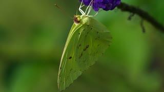 A Green Butterfly Feeding On Flower