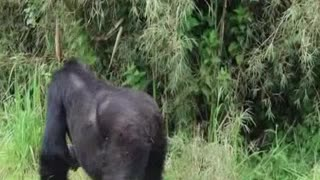 Mountain Gorilla is hurrying for bamboo chewing his favorite food/Funny & Cute animals