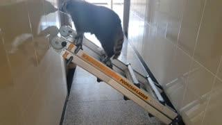 Smart Raccoon climbs ladder to open the door