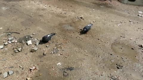 Exotic pigeons are on the street.