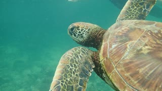 Swimming Beside A Turtle