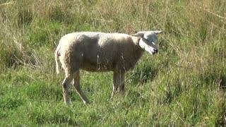 Sheep, video for children! 2021