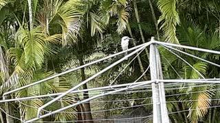 aussie cookaburra