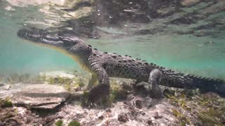 Daring diver was SNAPPED swimming with majestic crocodiles
