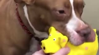 Adorable pup plays with his funny little pig toy