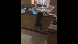 Crazy Dog trying to steal lunch