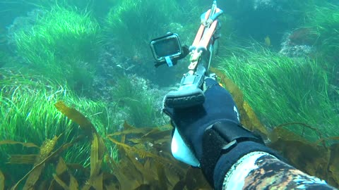 Spearfishing Pacific Grove in some 40ft visibility