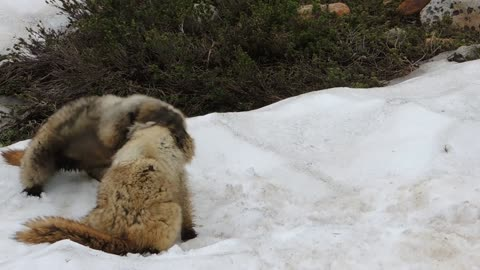 Marmot Fight at Mount Rainier, Washington State