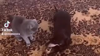 Angry Cat Fighting With Dog