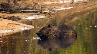 beaver play water