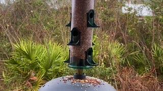 Florida Back Yard Birds