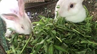 Rabbits eating something