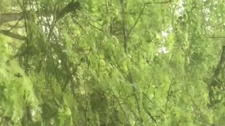 Squirrel snacking in a Maple Tree