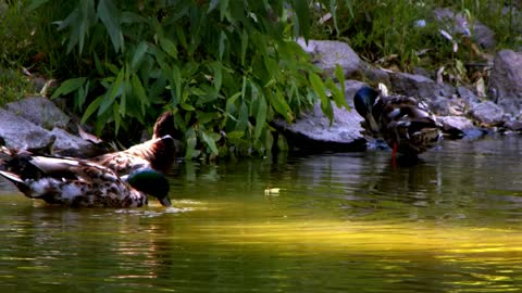Ducks drinking water in a lake - With quiet music