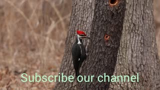 Amazing Red Head Woodpecker Making their home.