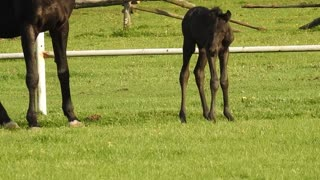 The little horse is black and the mother is eating the grass