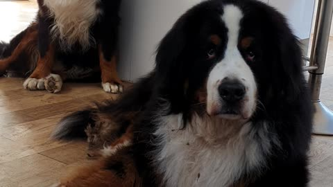 Bernese Mountain Dog refuses to eat fruits