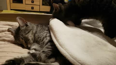Cute kitten funny massage