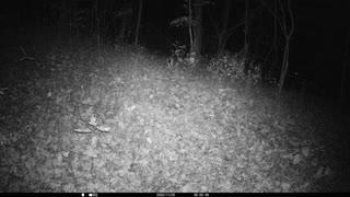 Coyote peeing