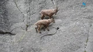 Mountain Climbing Goats ibex cliff climbing Nature is Everything