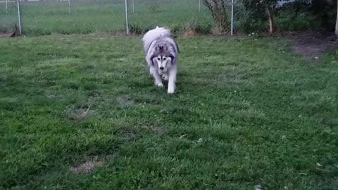 Awesome Husky Playtime