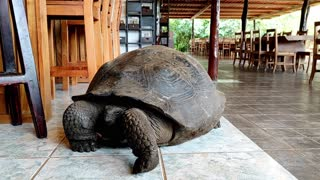 Gigantic Galapagos tortoise casually strolls through a restaurant