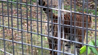 Territorial Tiger Sprays Tourists