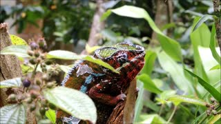 Panther Chameleon Eye Rolling Over For Enemy Near Tree Branch