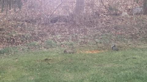 Squirrels stealing deer feed