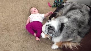 Australian Shepherd preciously licks baby's feet