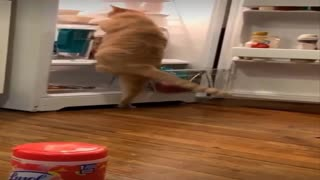 The cat takes his food from the refrigerator