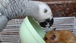 Peckish Parrot Flips Bowl on Hogging Hamster