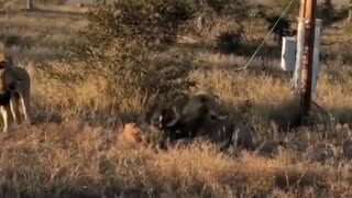 Two lions hunting hyena