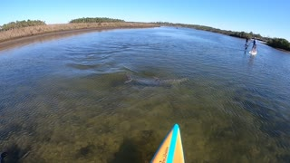 Dolphin Swims Into Stand-Up Paddleboarder