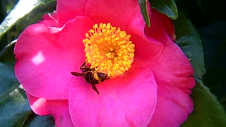 Close-up Footage Of A Bee Sucking Nectar From A Pink Flower